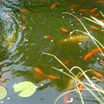 Goldfish pond in backyard