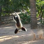 The dancing Sifika