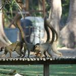 Brown lemurs in the Oasis