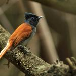 one of the jewels of the lodge garde; paradise fly-catcher. hard to see in Mara but plenty aroun