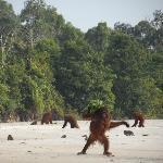 Orangutans on the Sungai Rungan