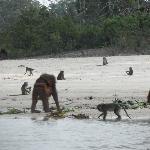 Orangutans viewed on a boat-trip up the Sungai Rungan
