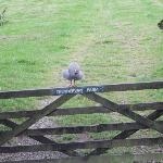 One of their Guinea fowls saying hello