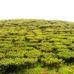 Tea Estate of Darjeeling
