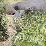 Baby Hippo, Cottars Safari