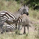 Nursing Zebra, Cottars Safari
