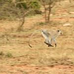 Running Monkey, Cottars Safari