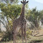 Baby Giraffe, Cottars Safari