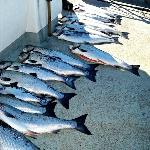 Mess of fish aboard Long Beach Princess party boat