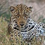 Leopard, selbst fotografiert
