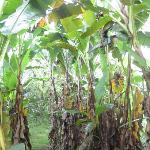 Banana trees on grounds of Semilla Verde