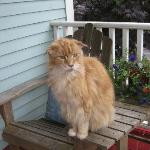 Ripples Inn's Friendly Maine Coon Cat