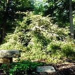 Unusual evergreen