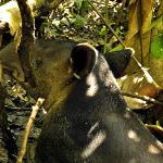 Tapir, largest land animal in Central and South America