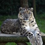 Pantera das Neves   Snow Leopard