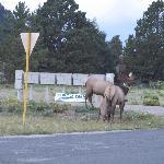 elk spotted across street