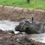 buffalo wallowing at treetops