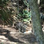 Raccoon  se llevo la comida de un visitante en el parque