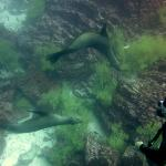 Diving with Sea Lion pups