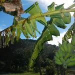 Banana Tree near Outdoor Dining Area
