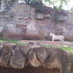 tigre de vengala
