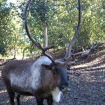 Reindeer area