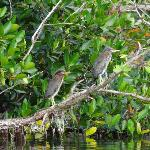 Baby green herons at the Rookery