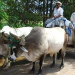 An ox and cart