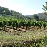 Grape vines surrounding the site