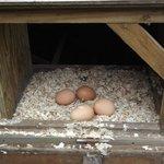 fresh eggs for breakfast.