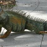 """There are iguanas at the swimming pool area. Beware - they climb the palms and """"poop"""" from the"""