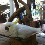 the Ramada Cockatoo