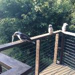 kookaburras on the deck with their brekkie!