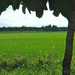 Rice fields closed to Viang Yonok Hotel Chiang Saen Thailand