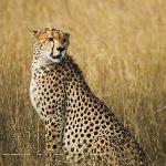 cheetah: masai mara