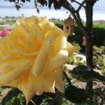 ThuBa's Roses