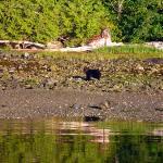 drifting close toward Black Bear female turning pebbles