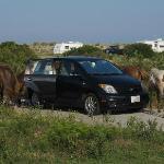 Wild horses, snacking on campsite