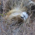 A Lyin Lion