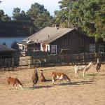 Llama pasture