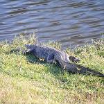One of several resident alligators