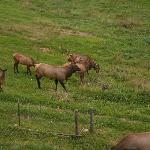 Elk herd in pasture behind cabin