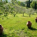 Olive groves on the Il Fagiolari property