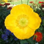 A beautiful Poppy out in their garden!!
