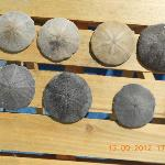SAND DOLLARS found on beach.