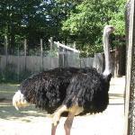 Ostrich...
