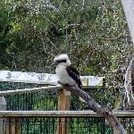 koala at the park 17/9/2012