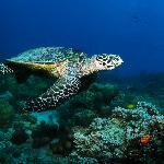 Turtle at 'Tanikely Marine Reserve'