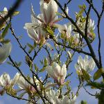 One of magnolias in bloom by the patio