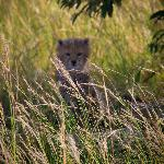 cheetah cub - we were within metres